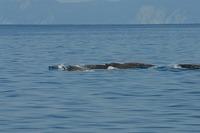 ルサ沖 中間ライン近く 094 ツチクジラ群れgood.jpgのサムネール画像